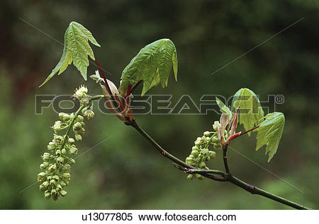 Stock Image of Big Leaf Maple tree, leaves and seeds emerge in.
