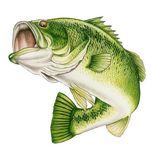 Bass clipart big bass, Bass big bass Transparent FREE for download.
