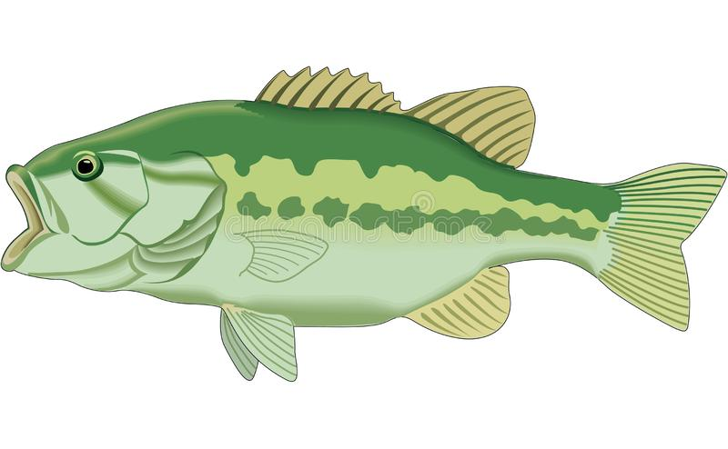 Bass Large Mouth Stock Illustrations.
