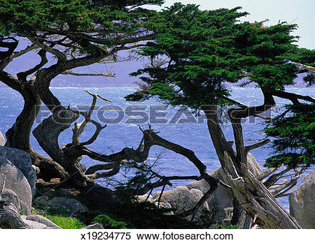Stock Image of Trees on the Coast of Big Sur, California x19234775.