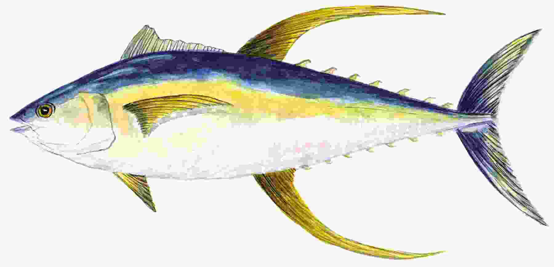 Bigeye tuna clipart clipground for What does a tuna fish look like