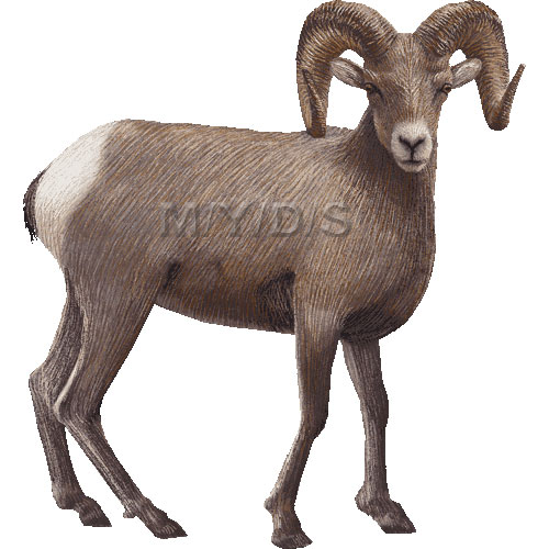 Bighorn Sheep (Ovis canadensis) clipart graphics (Free clip art.