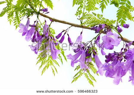 Bignoniaceae Stock Photos, Royalty.