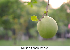 Stock Photo of Bignoniaceae fruit over natural blurred background.