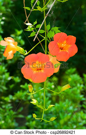 Stock Photo of Campsis grandiflora, Bignoniaceae.