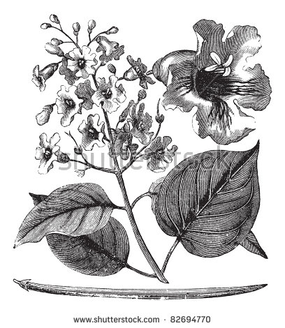 Bignoniaceae Stock Vectors & Vector Clip Art.