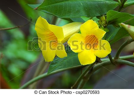 Stock Photos of Yellow Trumpet Vine (bignoniaceae campsis radicans.