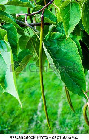 Stock Image of Catalpa genus of plants in the family bignoniaceae.