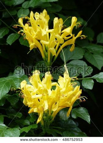 Bignoniaceae Stockfoto's, rechtenvrije afbeeldingen en vectoren.