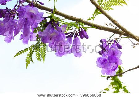 Bignoniaceae Stock Photos, Royalty.