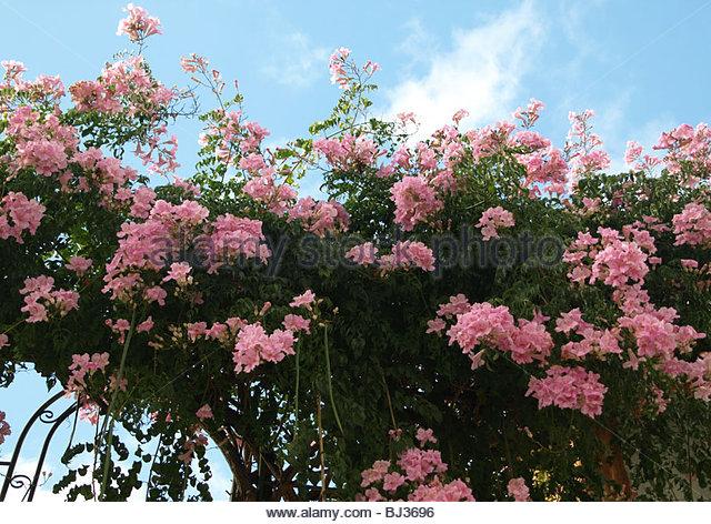 Bignoniaceae Stock Photos & Bignoniaceae Stock Images.