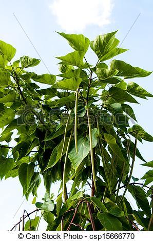 Picture of Catalpa genus of plants in the family bignoniaceae.