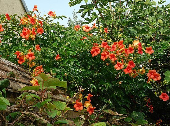 1000+ images about Belles Pivoines de Chine calines, amarantines.