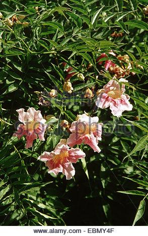 Evergreen Rose Stock Photos & Evergreen Rose Stock Images.