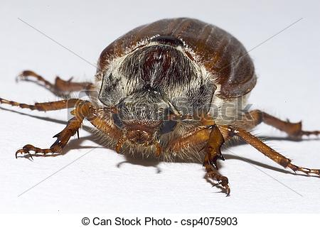 Stock Photos of cockchafer, (Melolontha melolontha).