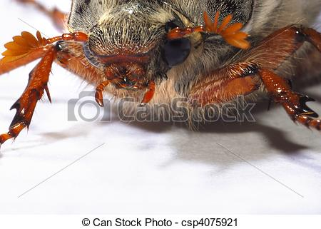 Stock Photography of portrait of a cockchafer (Melolontha.