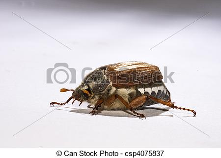 Picture of cockchafer, (Melolontha melolontha).