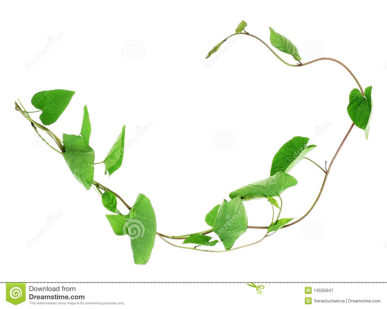 Liana Plant Bindweed Royalty Free Stock Photography.