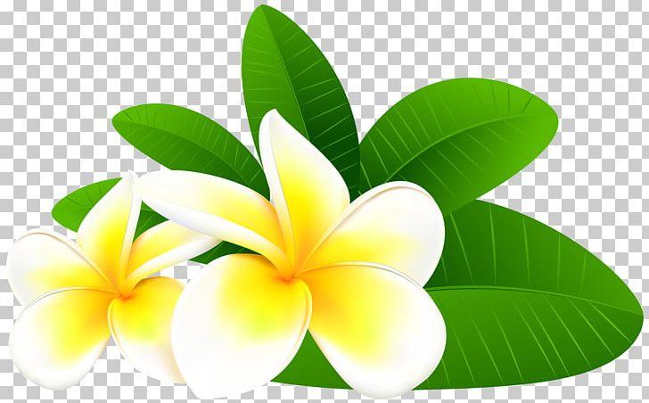Frangipani Flower PNG, Clipart, Bing, Clip Art, Color.