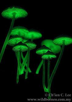 bioluminescent mushrooms.