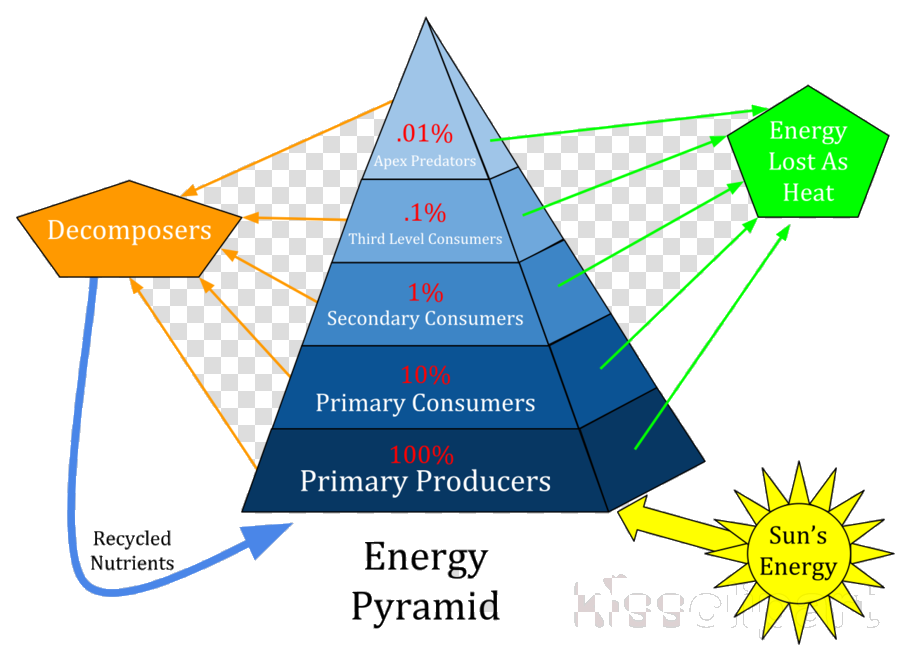 Numbers Pyramid Of Energy Biomass And Clipart Ecological Trophic.