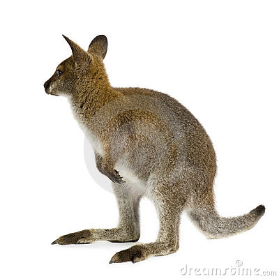 Wallaby Royalty Free Stock Images.