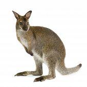 Stock Photo of Kangaroo Paws, Royalty.