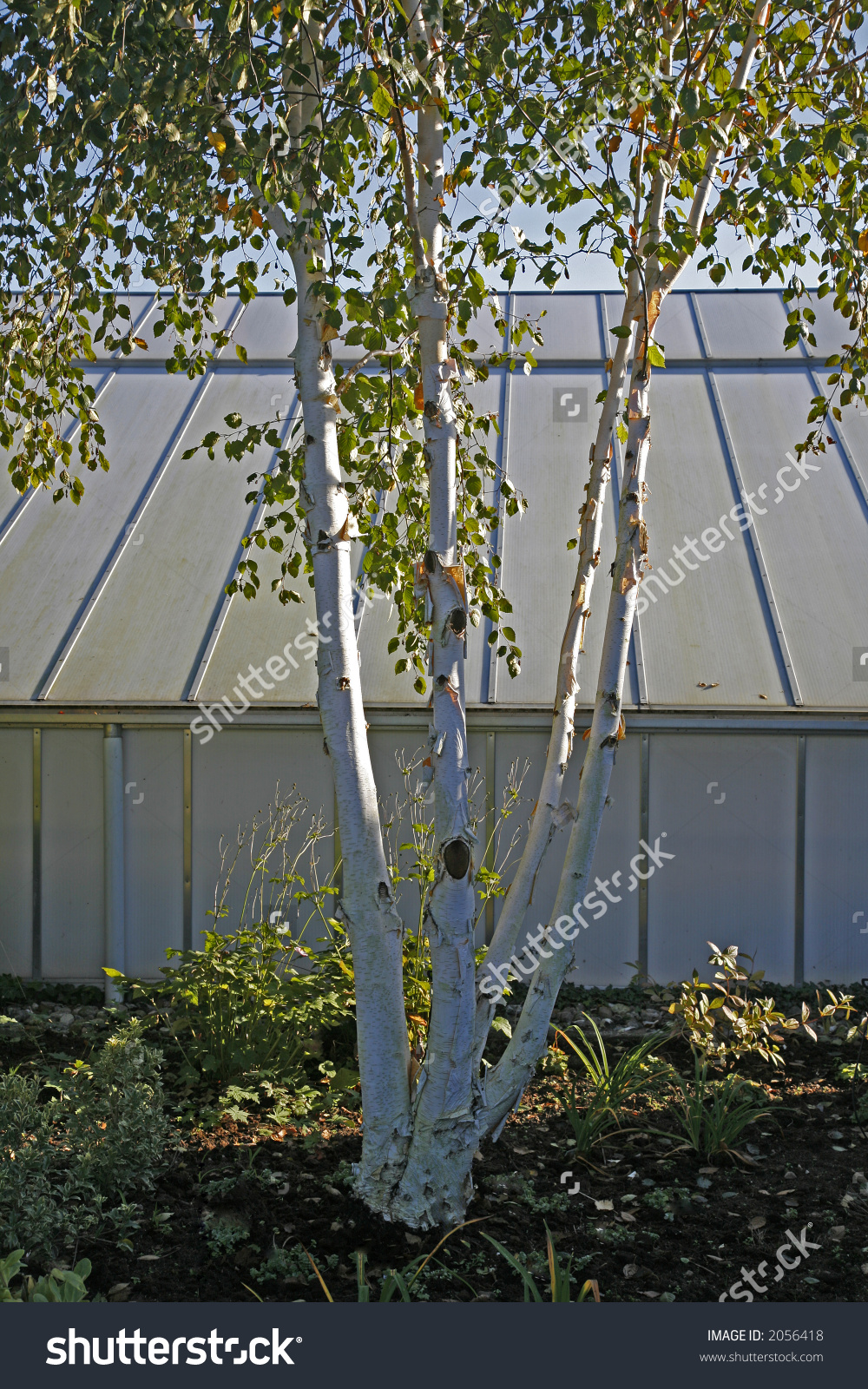 Betula Utilis Or Himalaya Birch In Front Of Green House. Stock.