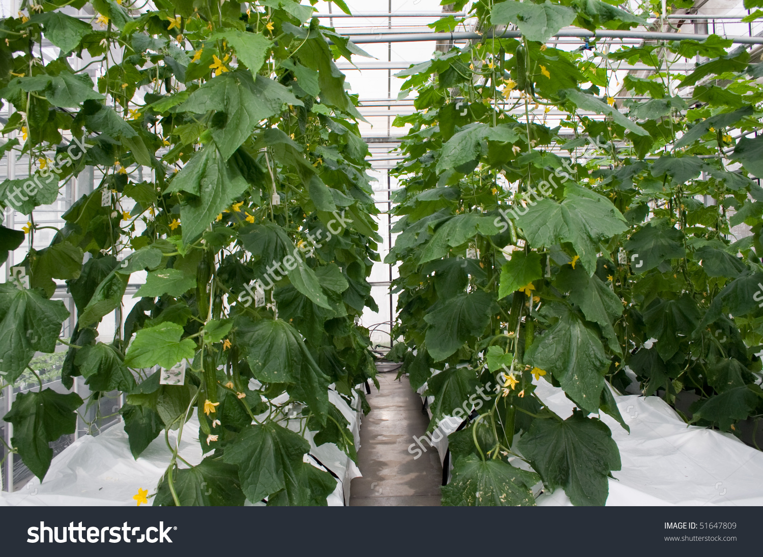 Cucumber Plants Stock Photo 51647809 : Shutterstock.