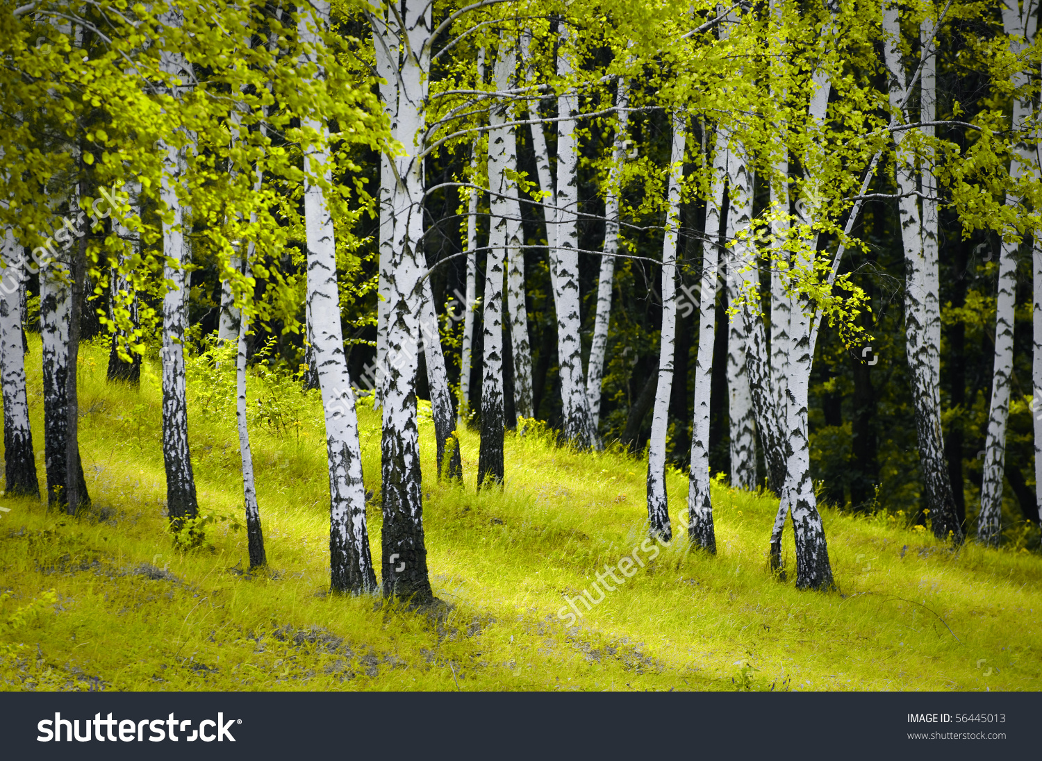 Beautiful Scene Birch Grove Stock Photo 56445013.