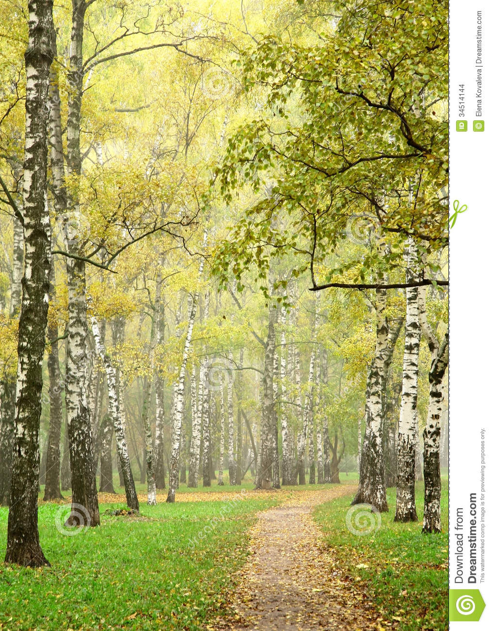 Sunny Morning Autumn Mist In October Birch Grove Stock Images.