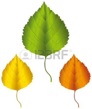 5,908 Birch Leaf Stock Vector Illustration And Royalty Free Birch.