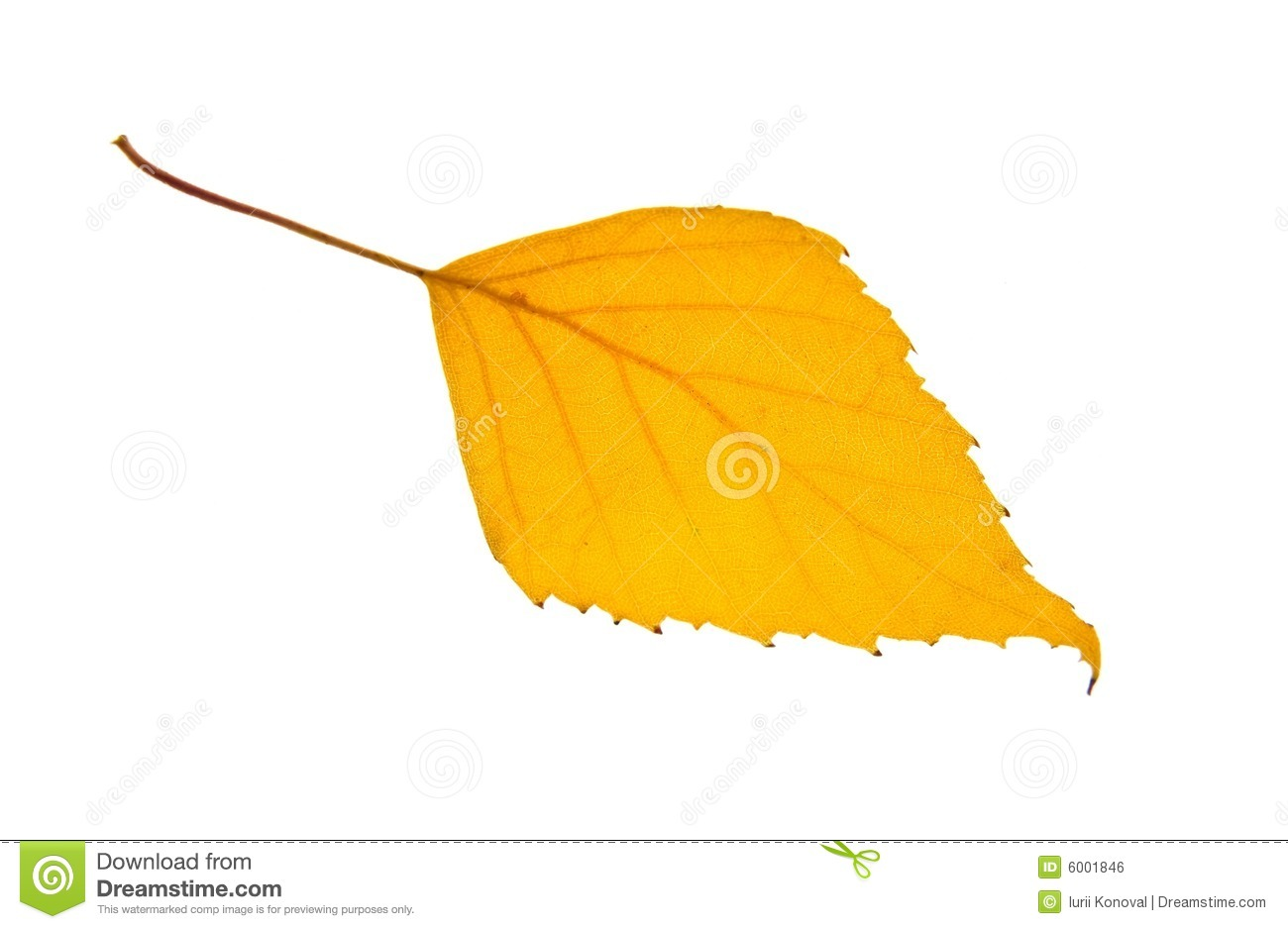 Yellow Birch Leaf Isolated Stock Photo.