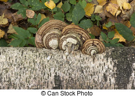 Stock Photography of Birch Polypore.