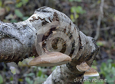 Polypore Bracket Fungus On Silver Birch Tree, Scotland Stock Photo.