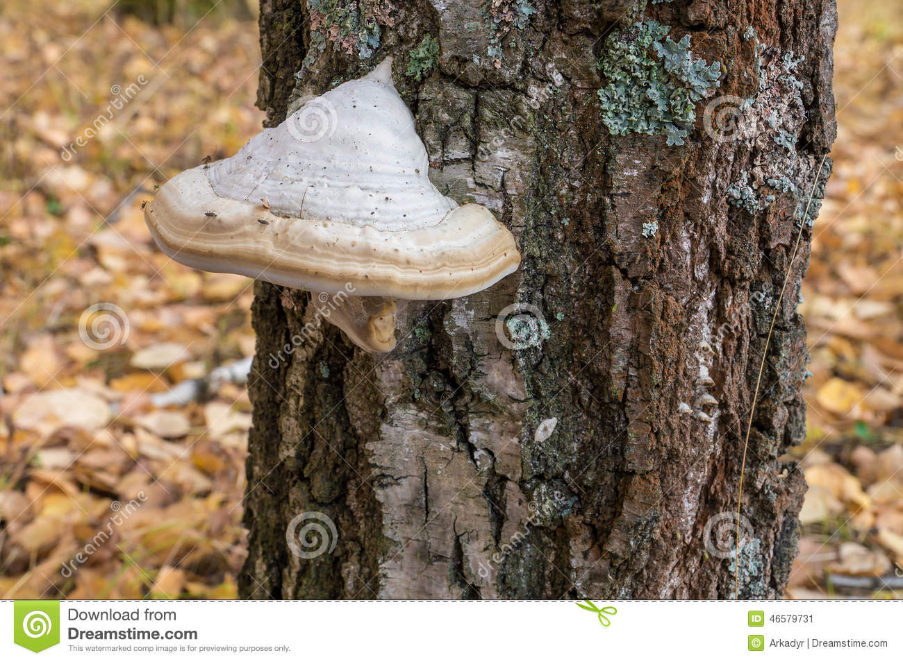 Birch Polypore Mushrooms (Piptoporus Betulinus) Royalty Free Stock.