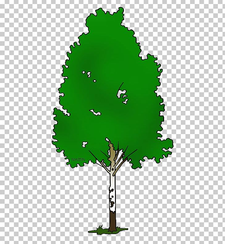 Paper Birch Silver Birch Tree PNG, Clipart, Bald Cypress.