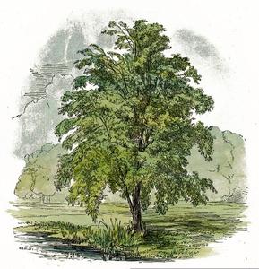 Birch Tree Clipart Free.