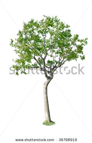 Birch tree backgrounds clipart.