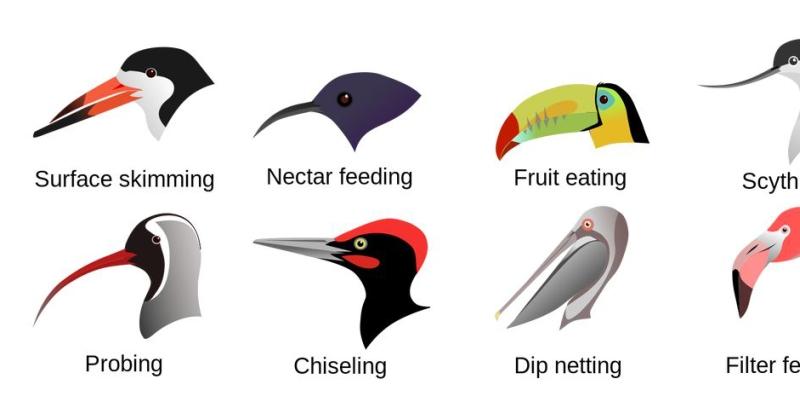 Evolution at Work: Beak Adaptations of Birds.