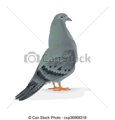 Vector Clip Art of Carrier pigeon breeding bird vector.eps.