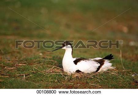 Stock Photography of Juniors, animal, animals, bird, birds, breed.
