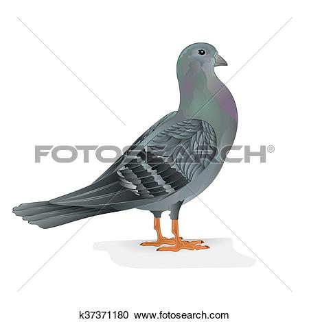 Clipart of Pigeon breeding bird vector.eps k37371180.