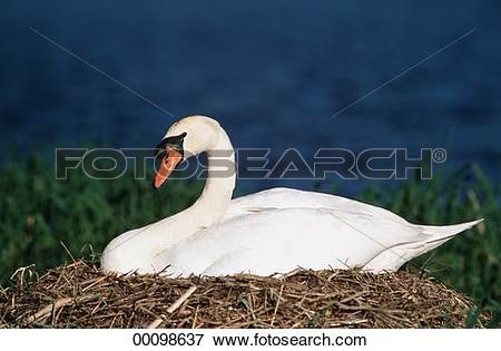 Picture of Cygninae, Juniors, animal, animals, bird, birds, breed.