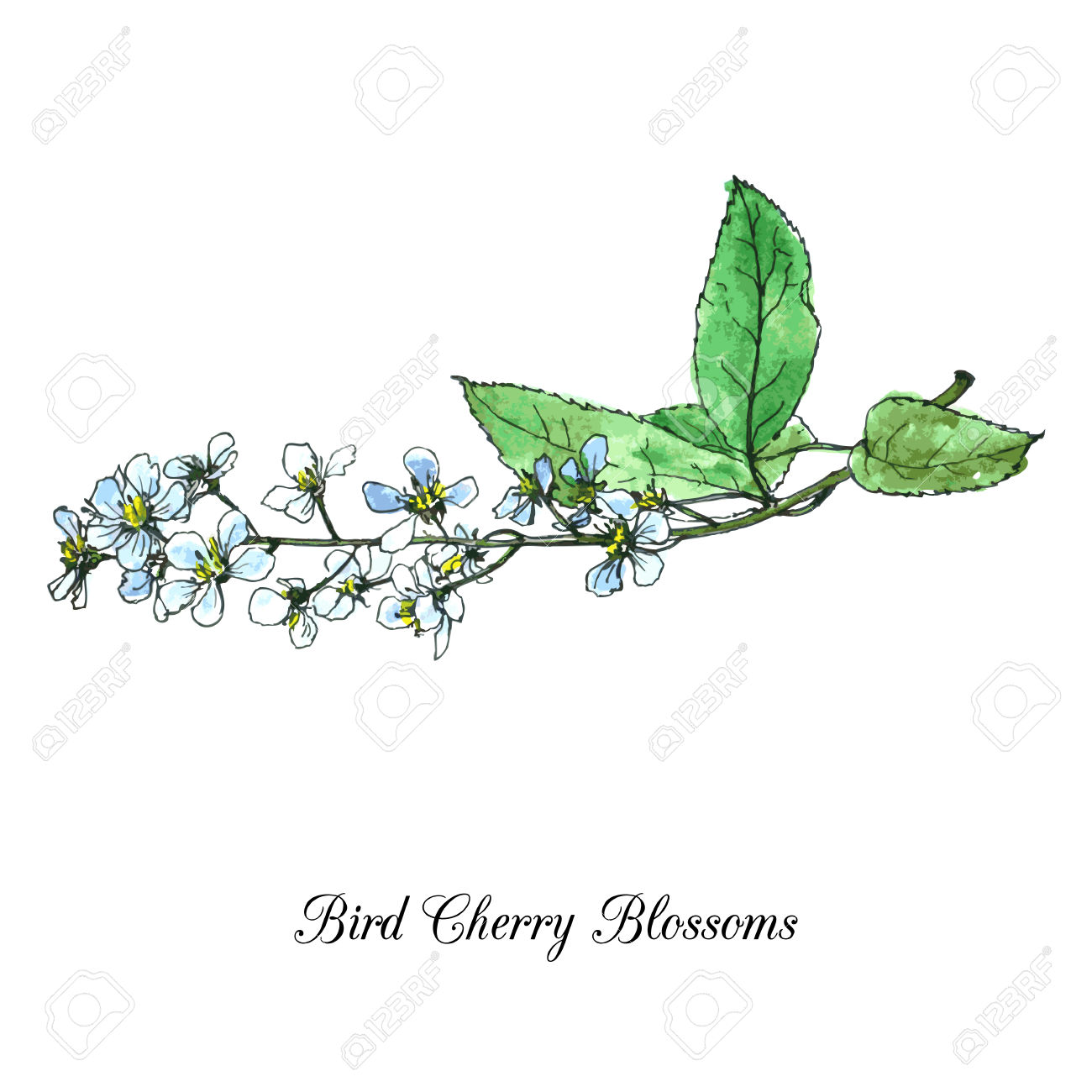 Spring Flowers Of Bird Cherry Tree, Blossoms With Green Leaves.