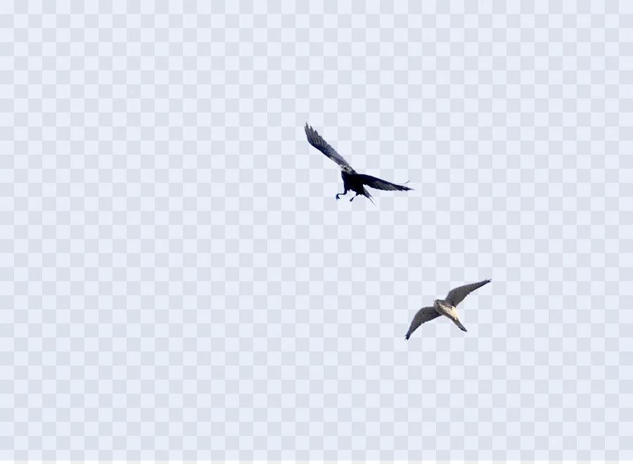Eagle Bird png download.