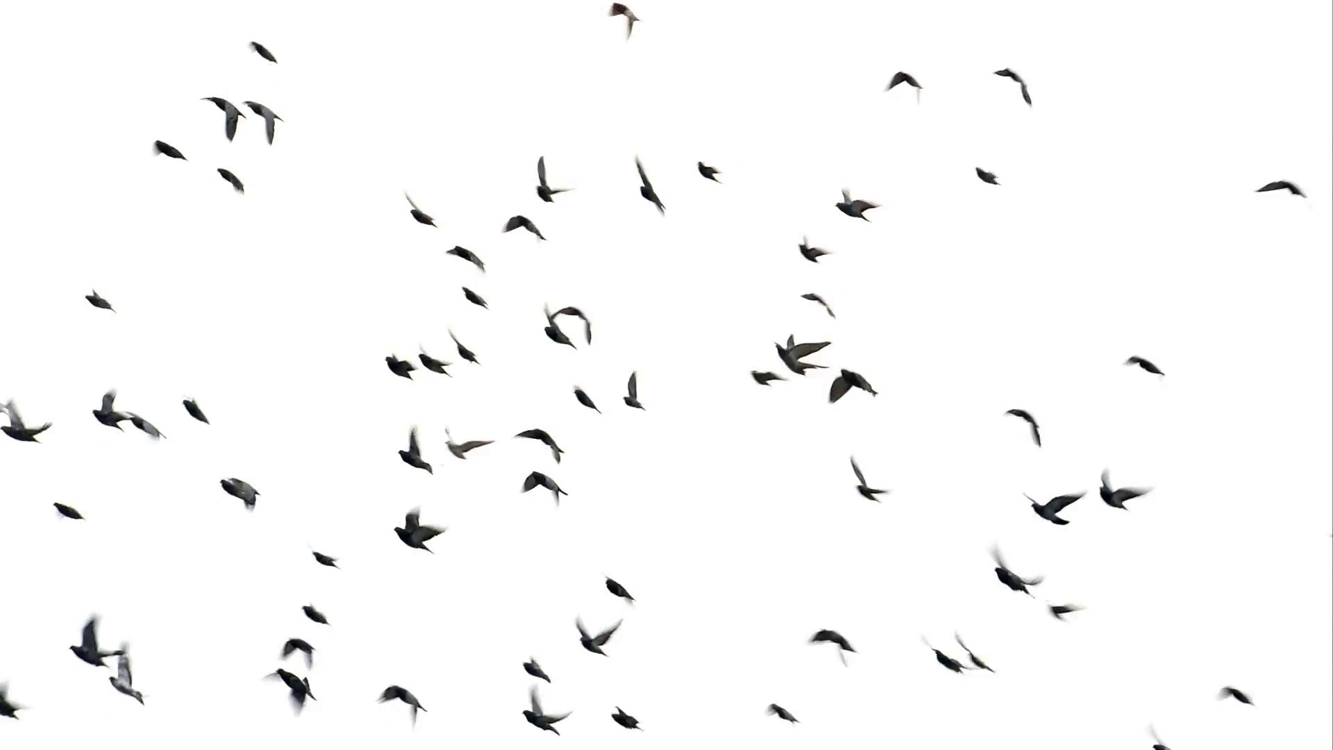 Flock of birds flying on the sky Stock Video Footage.