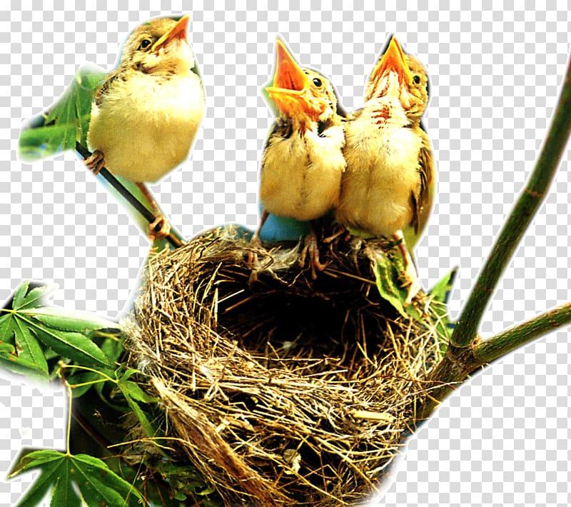 Bird nest Edible bird\\\'s nest, Nest and birds transparent.