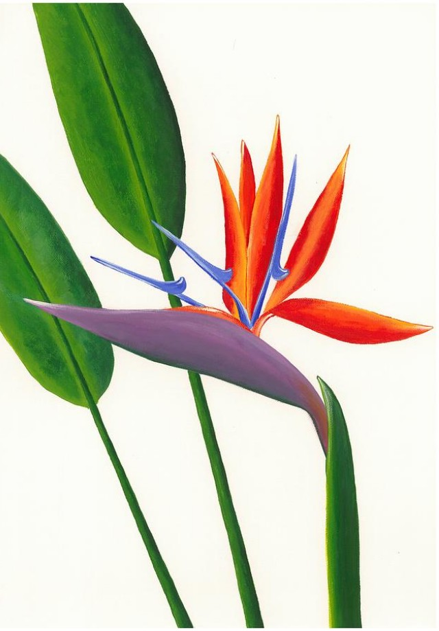 Clipart Drawing Images Of Bird Of Paradise.