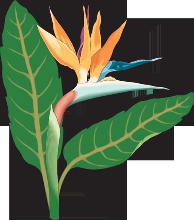 Bird of paradise hd clipart.